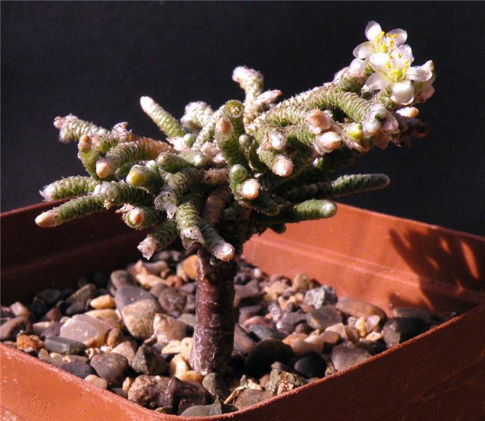 褐蚕 Avonia ustulata