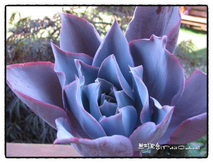 晚霞 Echeveria cv. 'Afterglow'