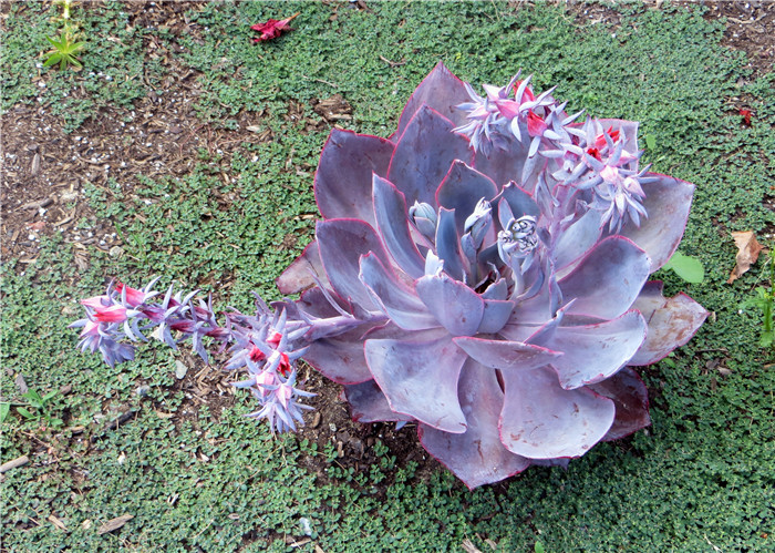 晚霞 Echeveria cv. 'Afterglow'