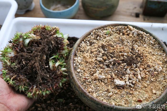 全颗粒土/高比例颗粒土养多肉根系情况