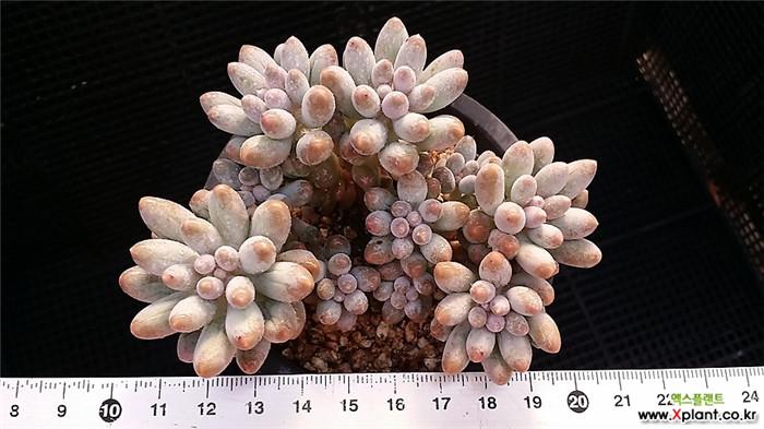 婴儿手指 Pachyphytum Machucae'/Baby finger