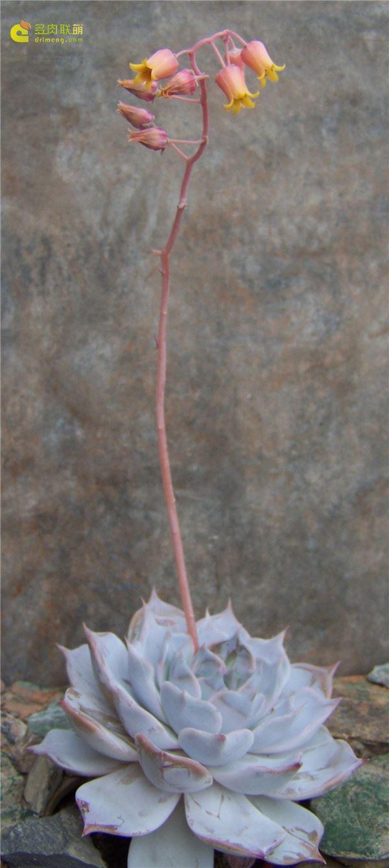 多肉克拉赖娜 Echeveria Clarina