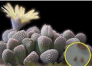 天女影 Titanopsis primosii