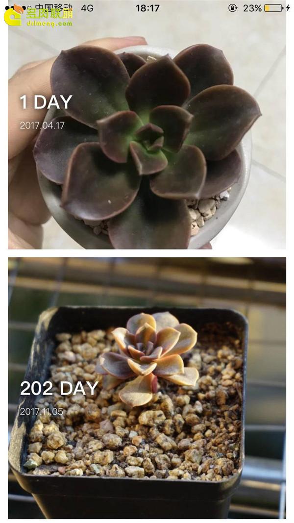 巧克力方砖的成长变化