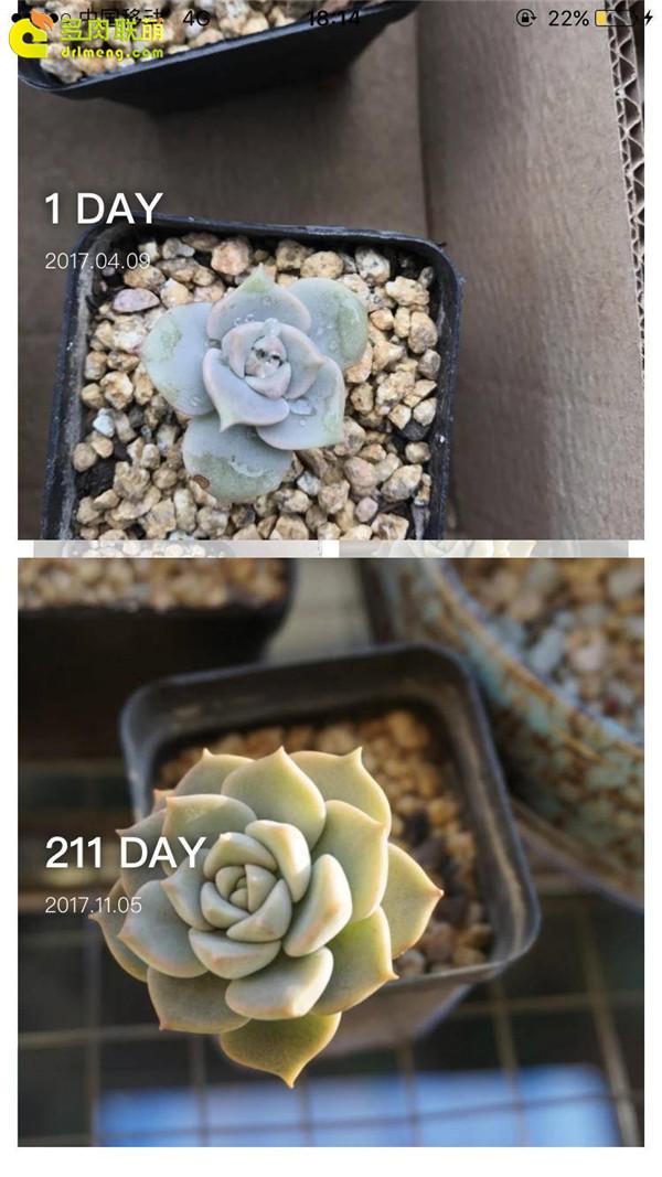 白牡丹的成长变化