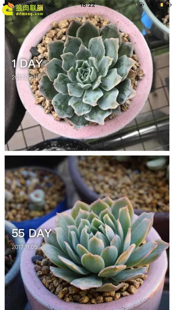 蓝丝绒的成长变化