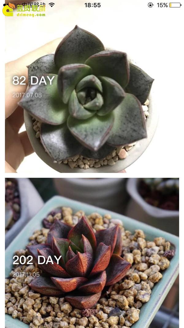 大和锦的成长变化