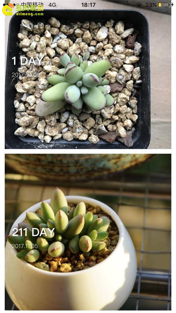 精灵豆的成长变化