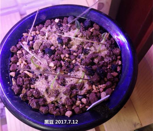 黑皮月界的播种成长记录