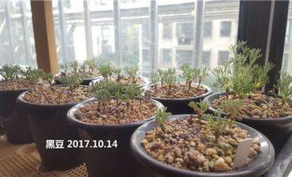 黑皮月界的播种和小苗养护