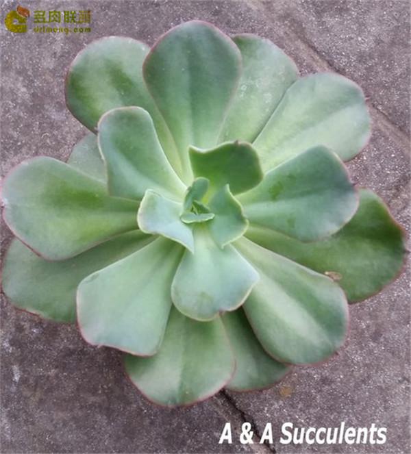 红鹤 Echeveria Beninut-Suru
