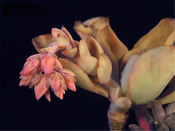 红の鹤Echeveria 'Beninoturu'