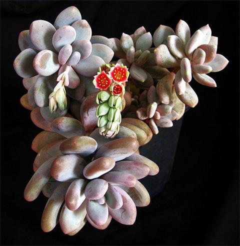 可能是星美人的Pachyphytum  Bracteosum