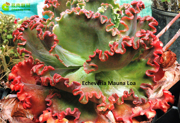火山女神 Echeveria Mauna Loa