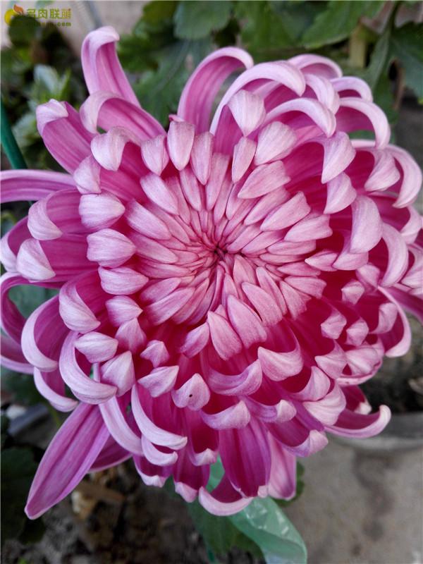 初冬的美丽菊花