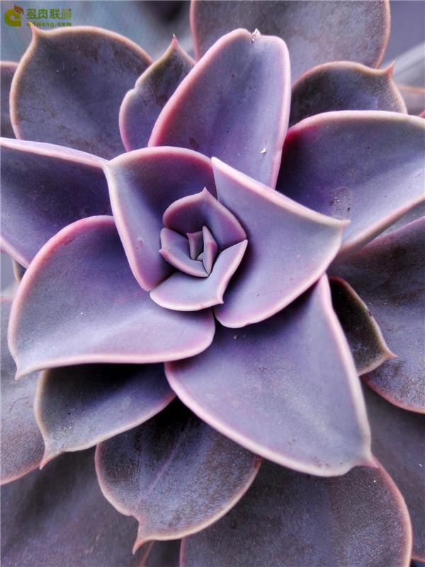 初冬的美丽多肉紫珍珠