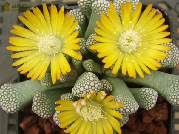 天女盃 Titanopsis luederitzii