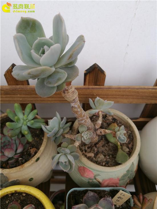 鲁氏石莲花成长变化