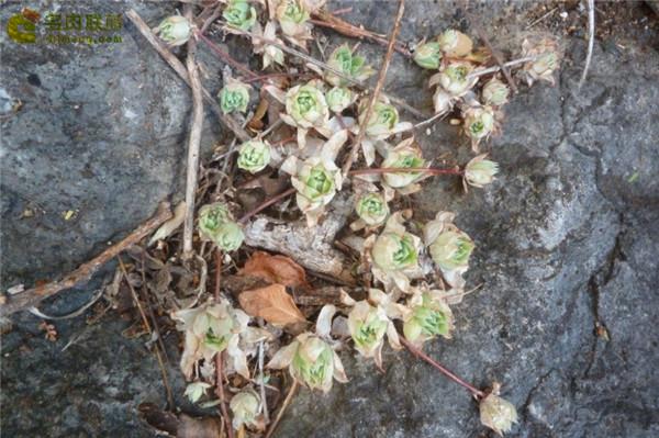 蔓莲 Graptopetalum Macdougallii