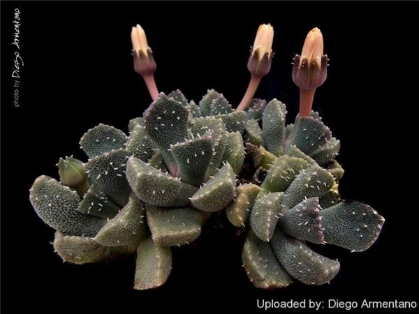 天女琴 Aloinopsis setifera