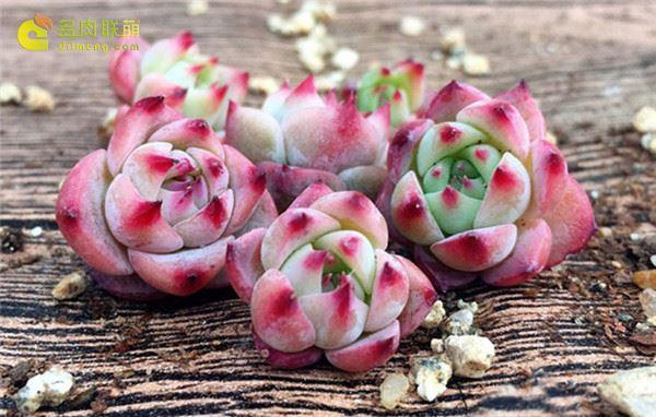 多肉植物水蜜桃