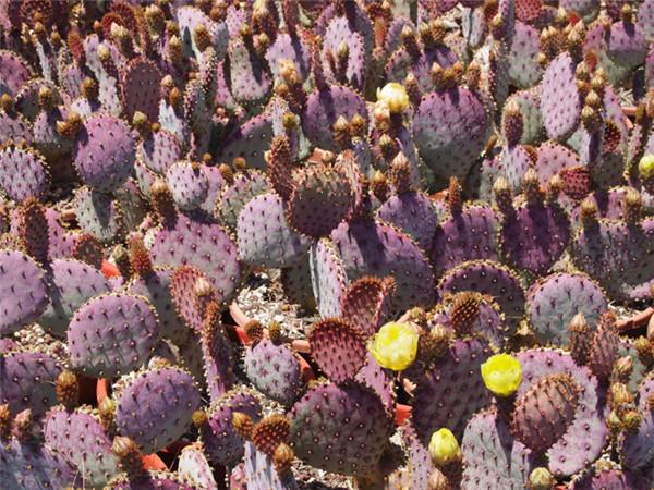 圣丽塔仙人掌 Opuntia santarita