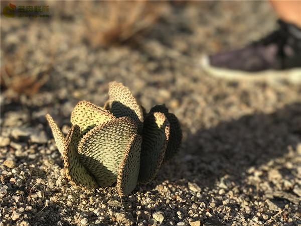 海狸鼠尾仙人掌 opuntia basilaris