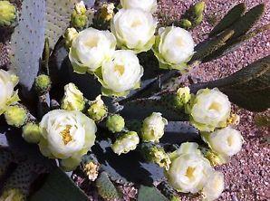 白色海狸鼠尾仙人掌 opuntia basilaris