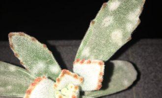 月兔耳叶片上长了白斑