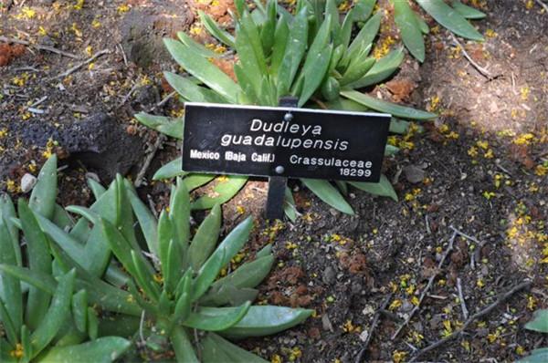 仙女杯瓜德鲁奔斯 Dudleya guadelupensis
