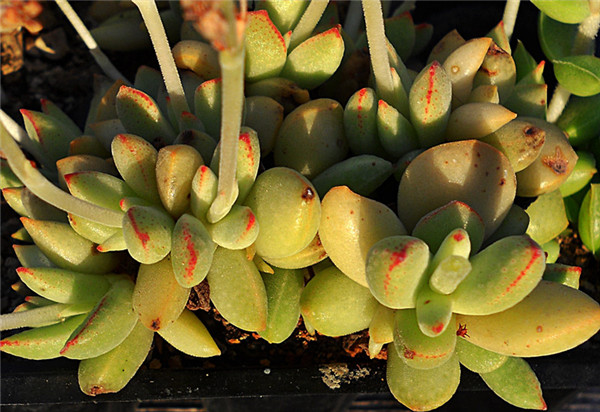 原始火星兔子 Crassula ausensis ssp. ausensis