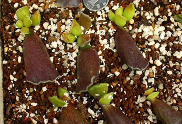 紫库珀水泡叶插苗