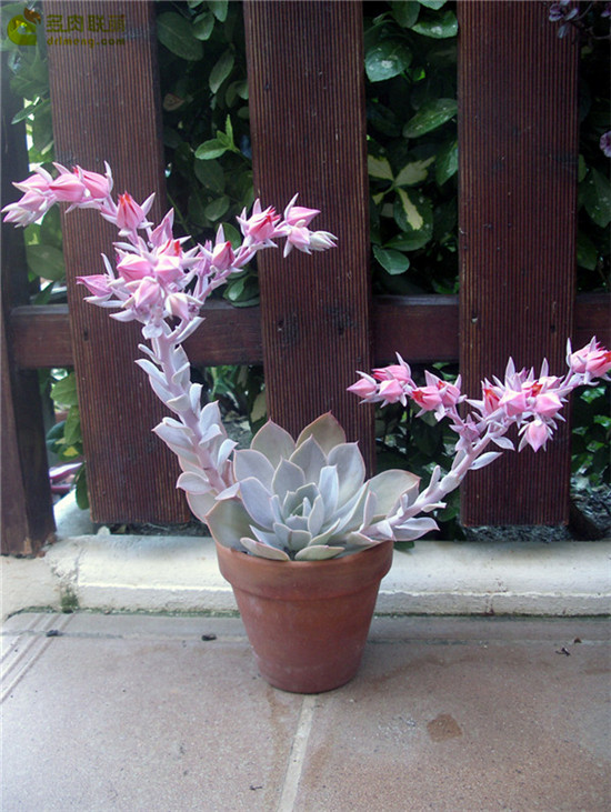 多明戈 Echeveria 'domingo'