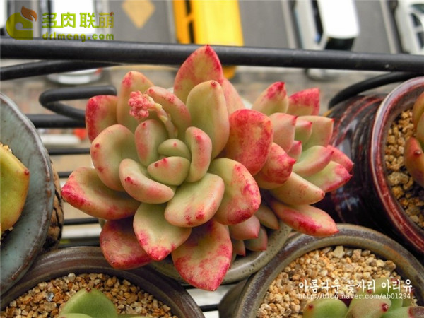奶油鳄梨 xGraptoveria Avocado Cream