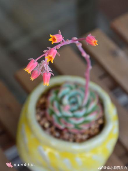 多肉海棠花开花