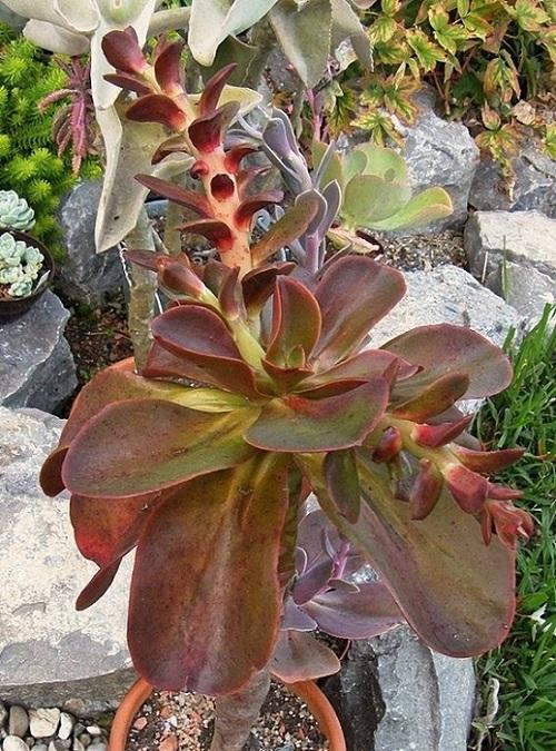 寒鸟巢 Echeveria fasciculata