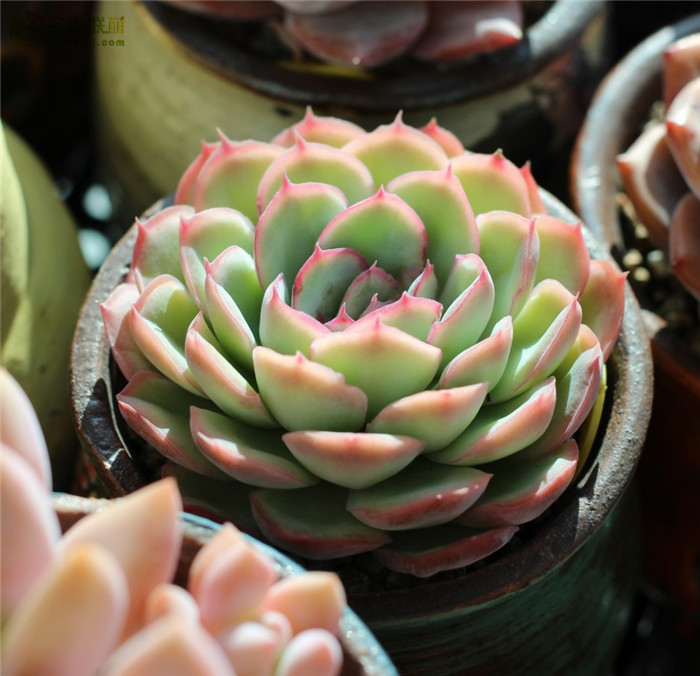 ???????? 草莓冰 Echeveria 'Strawberry ice'