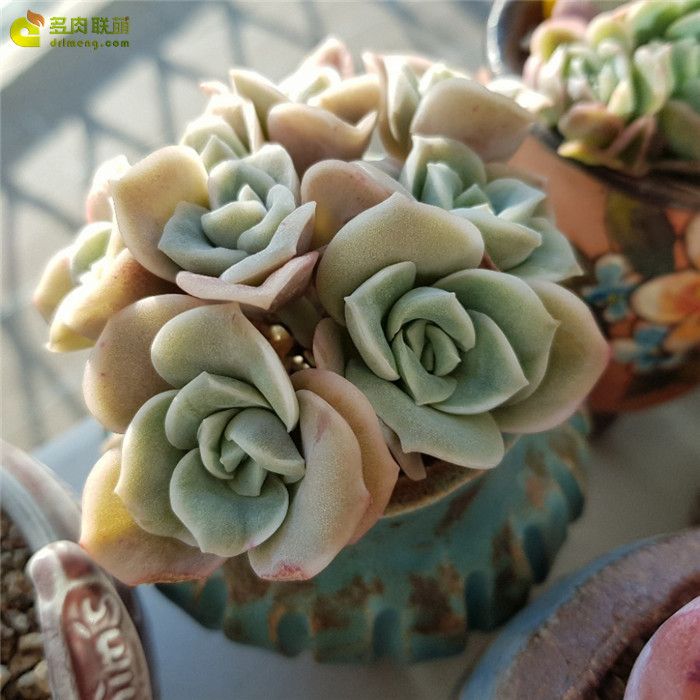 러블리로즈 可爱玫瑰 Lovely Rose