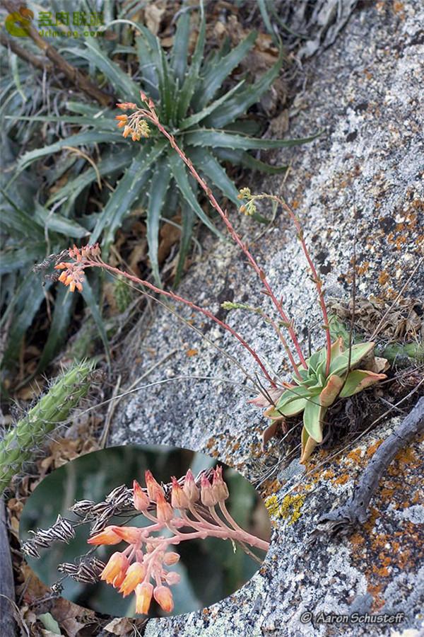 仙女杯 努比吉娜 Dudleya nubigena ssp. cerralvensis