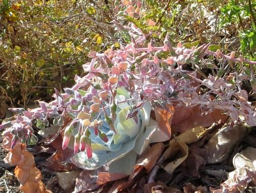 仙女杯雪山 Dudleya pulverulenta