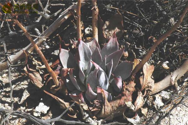 仙女杯雪山 Dudleya pulverulenta sp. arizonica