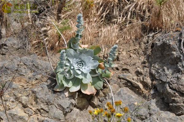 仙女杯雪山 Dudleya pulverulenta sp. pulverulenta