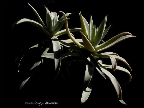 Dudleya saxosa ssp. collomiae