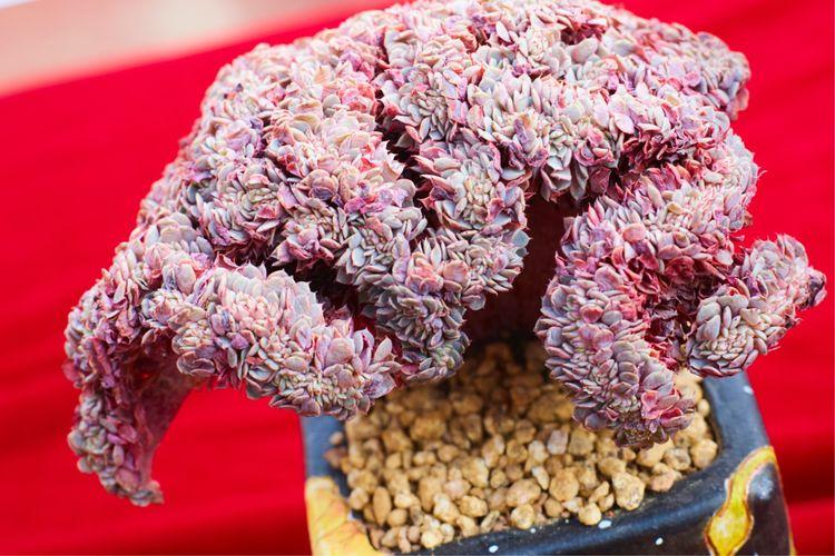 柳州多肉展会上的多肉