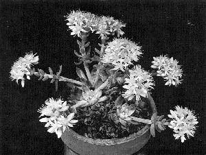 Dudleya virens ssp. extima