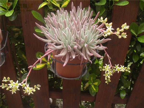 海瑟仙女杯 Dudleya virens ssp. hassei
