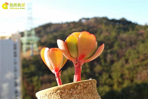 西泽尔 Echeveria gigantea Sizzler