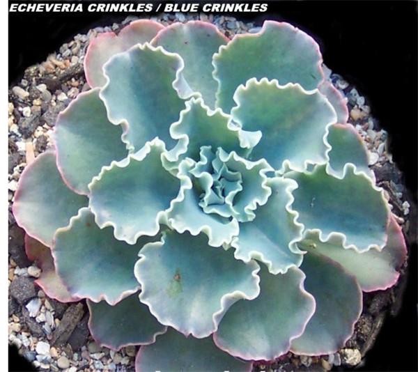 E. Blue Crinkles 蓝纹