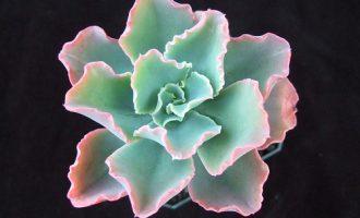 蓝纹 Echeveria 'Crinkles'