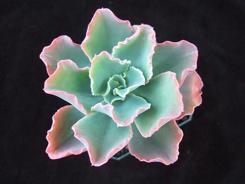 蓝纹 Echeveria Crinkles